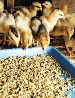 chick feed pellets